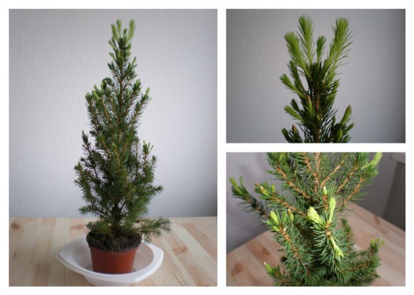 Growing Pine Tree