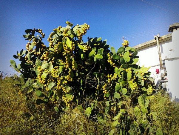 Huge cactus bearing fruits
